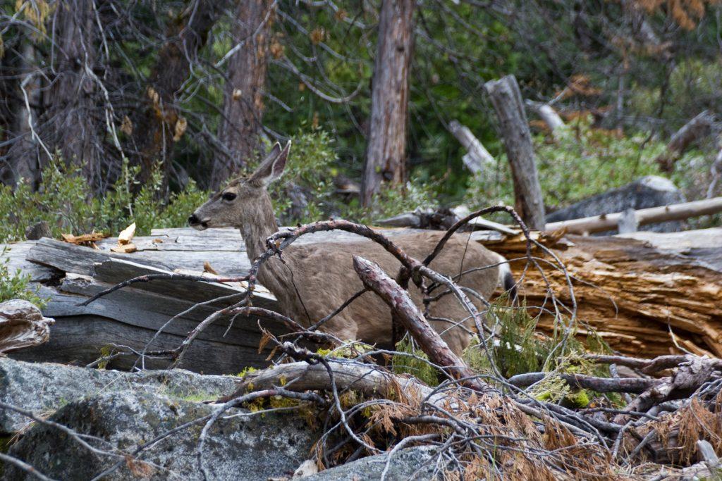 Deer! on the John Muir Trail - Yosemite
